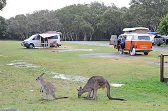 Kangaroos with Camper Vans
